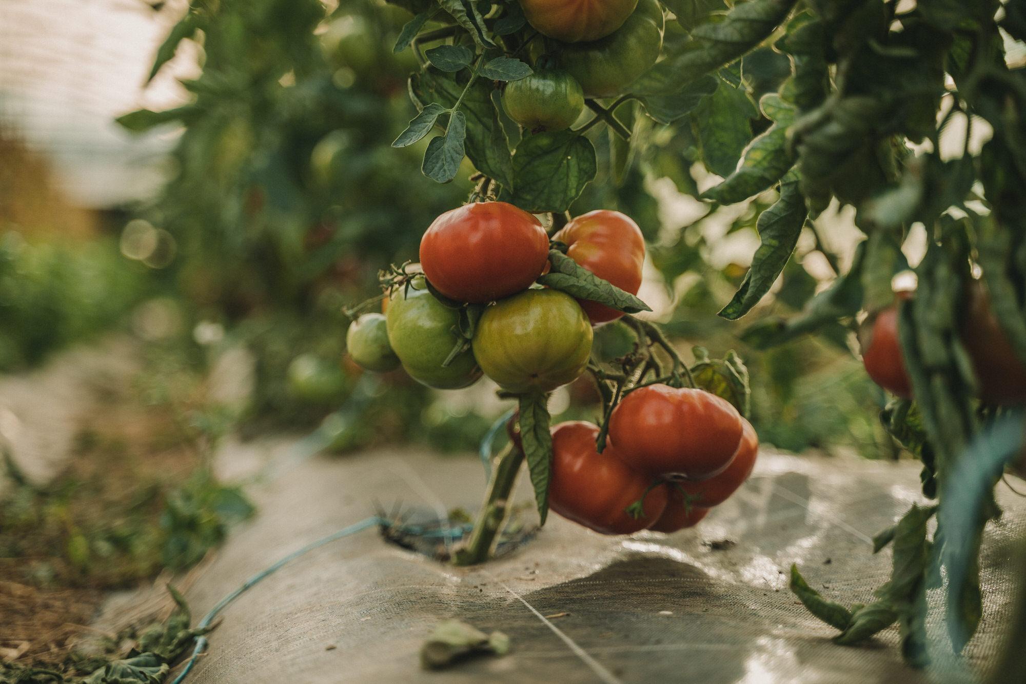Reportage Photo Brest 20200713 04825 Les Jardins De Kerlomann Légumes Anciens Et Bio En Bretagne Www.antoineborzeix.fr , Photographe & Videaste à Brest / Finistère